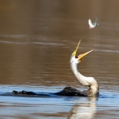Anhinga novaehollandiae (Australasian Darter) at Jerrabomberra Wetlands - 15 May 2020 by WHall