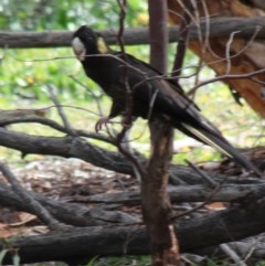 Zanda funereus (Yellow-tailed Black-Cockatoo) at Red Hill Nature Reserve - 20 May 2020 by kieranh