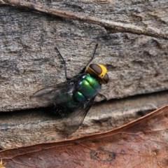 Amenia imperialis (Yellow-headed blowfly) at Black Range, NSW - 22 Feb 2019 by AndrewMcCutcheon