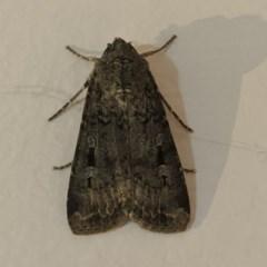 Agrotis infusa (Bogong Moth, Common Cutworm) at Kambah, ACT - 21 May 2020 by HelenCross