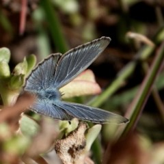 Zizina otis labradus (Common Grass Blue) at Brogo, NSW - 19 May 2020 by MaxCampbell