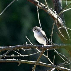 Microeca fascinans (Jacky Winter) at Brogo, NSW - 19 May 2020 by MaxCampbell
