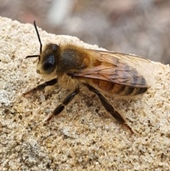 Apis mellifera (European honey bee) at Queanbeyan West, NSW - 22 May 2020 by Speedsta