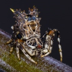 Celaenia calotoides (Bird-dropping spider) at Melba, ACT - 29 Mar 2012 by Bron