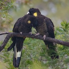 Calyptorhynchus funereus (Yellow-tailed Black-Cockatoo) at Googong, NSW - 21 May 2020 by WHall
