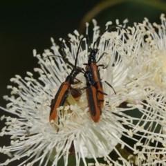Stenoderus suturalis (Longhorn or longicorn beetle) at Black Range, NSW - 4 Jan 2019 by AndrewMcCutcheon