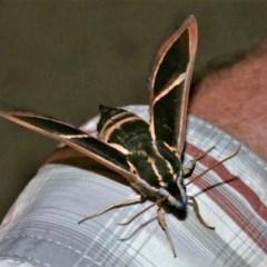 Cizara ardeniae (Coprosma Hawk Moth) at Black Range, NSW - 2 Jan 2017 by AndrewMcCutcheon