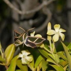 Cizara ardeniae (Coprosma Hawk Moth) at Black Range, NSW - 24 Nov 2017 by AndrewMcCutcheon