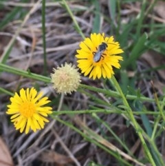 Calotis lappulacea (Yellow burr daisy) at Blue Gum Point to Attunga Bay - 18 May 2020 by Safarigirl