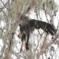 Calyptorhynchus lathami (Glossy Black-Cockatoo) at Morton National Park - 23 May 2020 by Snowflake