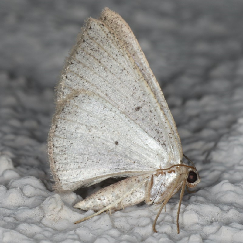 Casbia (genus) at Ainslie, ACT - 22 May 2020