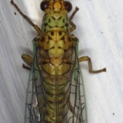 Dictyochrysa peterseni at Ainslie, ACT - 22 May 2020
