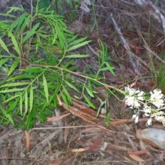 Lomatia silaifolia (Crinkle bush, Parsley Fern) at Tuchekoi National Park - 12 Dec 2017 by jenqld
