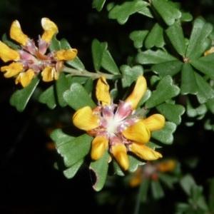 Pultenaea retusa (Notched Bush-pea) at Tuchekoi National Park by jenqld