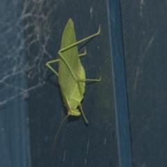 Caedicia simplex (Common Garden Katydid) at Higgins, ACT - 20 May 2020 by AlisonMilton
