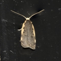 Hoplostega ochroma (A concealer moth) at Higgins, ACT - 20 May 2020 by AlisonMilton