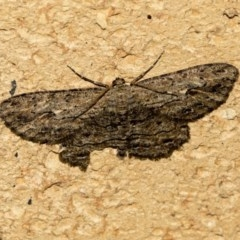 Ectropis excursaria (Common Bark Moth) at Higgins, ACT - 20 May 2020 by AlisonMilton