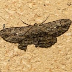 Ectropis excursaria (Common Bark Moth) at Higgins, ACT - 20 May 2020 by AlisonMilton