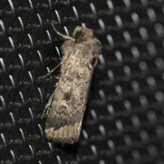 Proteuxoa bistrigula (An Owlet Moth) at Higgins, ACT - 20 May 2020 by AlisonMilton