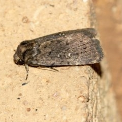 Proteuxoa (genus) (A Noctuid moth) at Higgins, ACT - 20 May 2020 by AlisonMilton