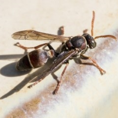 Ropalidia plebeiana (Small brown paper wasp) at Higgins, ACT - 19 May 2020 by AlisonMilton