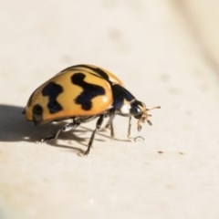 Coccinella transversalis (Transverse Ladybird) at Higgins, ACT - 19 May 2020 by AlisonMilton