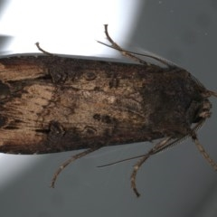 Agrotis infusa (Bogong Moth, Common Cutworm) at Ainslie, ACT - 22 May 2020 by jbromilow50