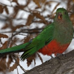 Alisterus scapularis (Australian King-Parrot) at Ainslie, ACT - 22 May 2020 by jbromilow50