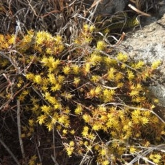 Acrotriche serrulata (Ground-berry) at Greenway, ACT - 22 Jan 2020 by michaelb