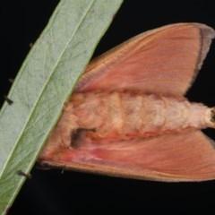 Oxycanus dirempta at Ainslie, ACT - 23 May 2020