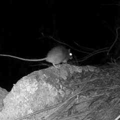 Rattus sp. (genus) (A rat) at Rendezvous Creek, ACT - 20 May 2020 by ChrisHolder