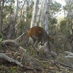 Macropus rufogriseus (Red-necked Wallaby) at Namadgi National Park - 19 May 2020 by ChrisHolder