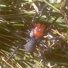 Missulena occatoria (Red-headed Mouse Spider) at Mulligans Flat - 24 May 2020 by DGriffin