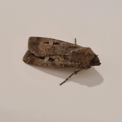 Agrotis infusa (Bogong Moth, Common Cutworm) at Molonglo Valley, ACT - 23 May 2020 by AaronClausen