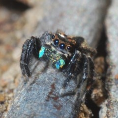 Jotus auripes (Jumping spider) at Black Mountain - 17 May 2020 by Harrisi