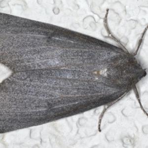 Paralaea ochrosoma at Ainslie, ACT - 24 May 2020