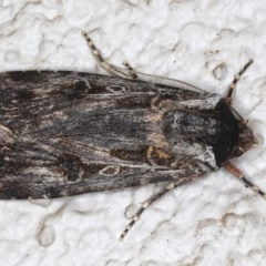 Agrotis munda (Brown Cutworm) at Ainslie, ACT - 24 May 2020 by jbromilow50