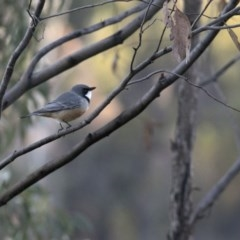 Pachycephala rufiventris (Rufous Whistler) at Coree, ACT - 13 Apr 2020 by Judith Roach