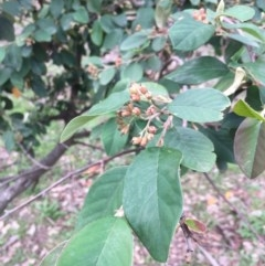 Cotoneaster glaucophyllus (Cotoneaster) at Mount Ainslie - 24 May 2020 by WalterEgo