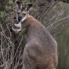 Macropus rufogriseus (Red-necked Wallaby) at Uriarra Village, ACT - 6 May 2020 by Judith Roach
