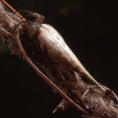 Arachnura higginsi (Scorpion-tailed Spider) at Amaroo, ACT - 3 Apr 1984 by wombey