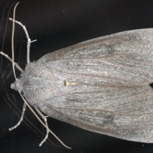 Paralaea ochrosoma at Ainslie, ACT - 25 May 2020