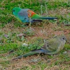 Psephotus haematonotus (Red-rumped Parrot) at Aranda Bushland - 26 May 2020 by Kurt