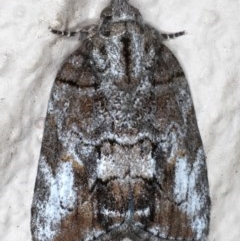 Nanaguna clopaea (Clopaea Moth) at Ainslie, ACT - 18 May 2020 by jbromilow50
