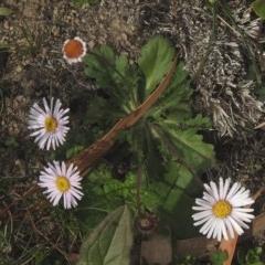 Brachyscome spathulata (Coarse Daisy, Spoon-leaved Daisy) at Namadgi National Park - 26 May 2020 by KMcCue