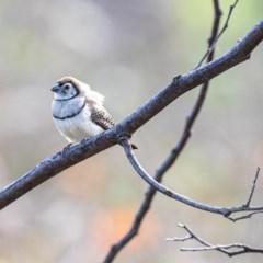 Taeniopygia bichenovii (Double-barred Finch) at Stromlo, ACT - 26 May 2020 by JohnHurrell