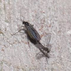 Bibionomorpha sp. (Infraorder) (Unidentified Gnat, Gall Midge or March Fly) at ANBG - 24 May 2020 by TimL