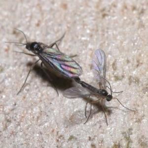 Bibionomorpha sp. (Infraorder) at ANBG - 24 May 2020