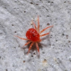 Acari sp. (informal subclass) (Unidentified mite) at ANBG - 24 May 2020 by TimL