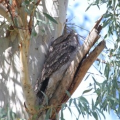 Podargus strigoides (Tawny Frogmouth) at ANBG - 24 May 2020 by Tim L